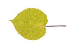 在白色隔绝的光滑的八仙花属叶子 图库摄影