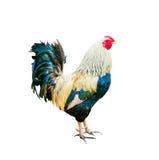 在白色隔绝的公鸡 免版税库存图片