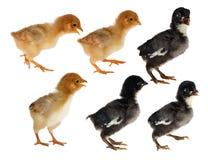 在白色隔绝的六只小鸡 库存图片
