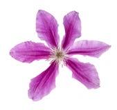 在白色隔绝的六朵瓣紫罗兰色花 库存照片