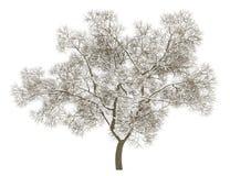 在白色隔绝的冬天英国橡树 皇族释放例证