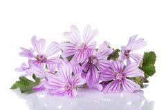 在白色隔绝的冬葵或锦葵属花 库存照片