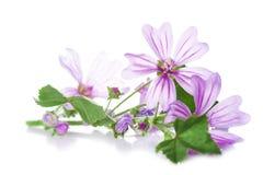在白色隔绝的冬葵或锦葵属花 免版税库存图片