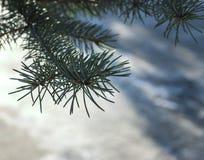 在白色隔绝的冷杉木 免版税库存图片