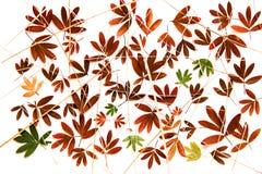 在白色隔绝的千岛茶油漆干燥秋天叶子 库存图片
