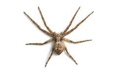 在白色隔绝的可怕蜘蛛 免版税库存照片