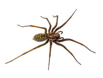 在白色隔绝的可怕议院蜘蛛 库存照片