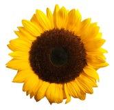 在白色隔绝的向日葵绽放 免版税库存照片