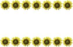 在白色隔绝的向日葵 免版税库存照片