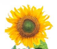 在白色隔绝的向日葵 库存图片