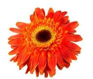 在白色隔绝的唯一橙色Herbera 免版税库存图片
