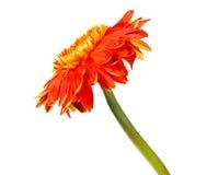 在白色隔绝的唯一橙色Herbera 库存图片