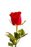 在白色隔绝的唯一美丽的红色玫瑰 免版税库存图片