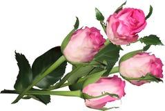 在白色隔绝的四朵桃红色玫瑰 库存图片