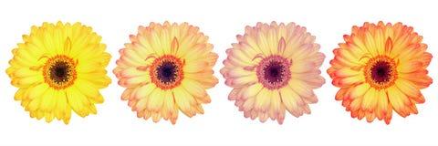 在白色隔绝的四朵美丽的华美的大丁草花 库存照片
