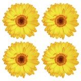 在白色隔绝的四朵美丽的华美的黄色大丁草花 库存图片