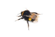 在白色隔绝的土蜂 免版税库存照片