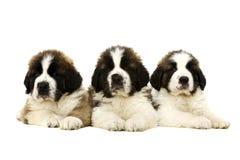 在白色隔绝的圣伯纳德小狗 图库摄影