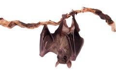 在白色隔绝的埃及果实蝙蝠 库存照片