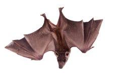 在白色隔绝的埃及果实蝙蝠 图库摄影