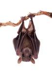 在白色隔绝的埃及果实蝙蝠 免版税图库摄影