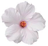在白色隔绝的夏威夷白色木槿 库存图片