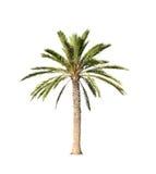 在白色隔绝的大棕榈树 库存图片
