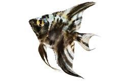 在白色隔绝的大理石神仙鱼pterophyllum scalare水族馆鱼 免版税库存照片