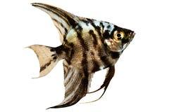 在白色隔绝的大理石神仙鱼pterophyllum scalare水族馆鱼 免版税库存图片