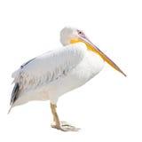 在白色隔绝的大美丽的白色鹈鹕 滑稽的逗人喜爱的动物园鸟鹈鹕 免版税库存图片