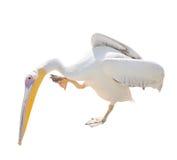 在白色隔绝的大美丽的白色鹈鹕 滑稽的逗人喜爱的动物园鸟鹈鹕 免版税库存照片