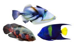在白色隔绝的套三条异乎寻常的鱼 库存图片