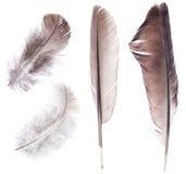 在白色隔绝的套四根黑暗的羽毛 库存照片