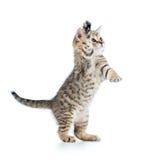 在白色隔绝的嬉戏的苏格兰小猫 库存图片