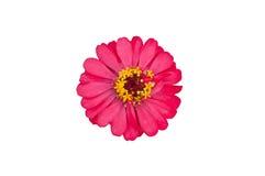 在白色隔绝的完善的桃红色和黄色大丁草花特写镜头 库存图片
