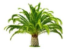 在白色隔绝的完善的棕榈树 免版税库存照片