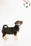 在白色隔绝的小狗 免版税图库摄影