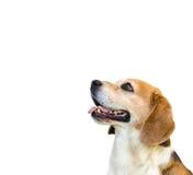 在白色隔绝的小猎犬狗 免版税库存照片
