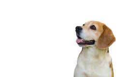 在白色隔绝的小猎犬狗 库存照片
