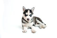 在白色隔绝的小的西伯利亚爱斯基摩人小狗 免版税库存照片