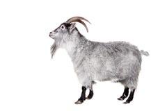 在白色隔绝的山羊 库存照片