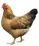 在白色隔绝的布朗母鸡,演播室射击。 免版税库存照片