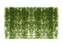 在白色隔绝的常春藤叶子 库存照片