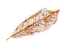 在白色隔绝的干燥秋季叶子 免版税图库摄影