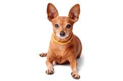 在白色隔绝的微型短毛猎犬 免版税库存照片