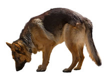 在白色隔绝的德国牧羊犬 免版税图库摄影