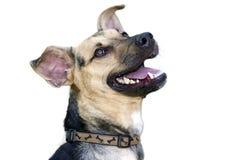 在白色隔绝的愉快的狗 免版税图库摄影