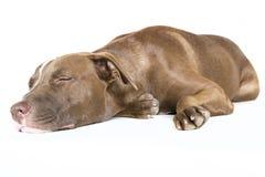 在白色隔绝的愉快的睡觉狗 库存图片
