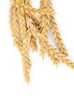 在白色隔绝的成熟麦子的耳朵 库存照片