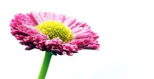 在白色隔绝的新鲜的桃红色雏菊花 免版税库存图片